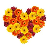 Send Flowers to Ichalkaranji Online for that place order of Mixed Gerbera Heart 50 Flowers