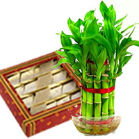 Deliver Gifts in Mumbai. Lucky Bamboo Plant with 500 gm Kaju Katli